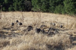 Turkeys hang out on the side of the road, mainly highways, so keep your eyes peeled for roadside flocks.