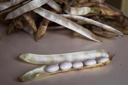 Locally grown white beans still in the pod.