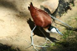 Actophilornis, Adelomyia, Achemophorus and Aegithalos, A-Z of bird genera. Birds of the World.