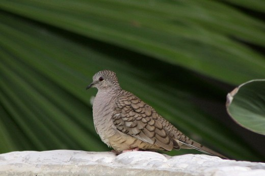 An Inca Dove. McAllen is part of the World Bird Center of nine locations.