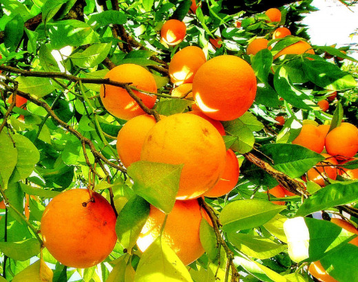 Ripe oranges hanging on green orange tree