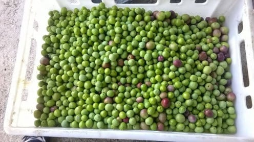 Olives picked and ready for milling.