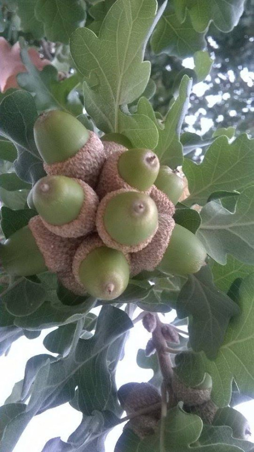 Acorns on  the oak tree.