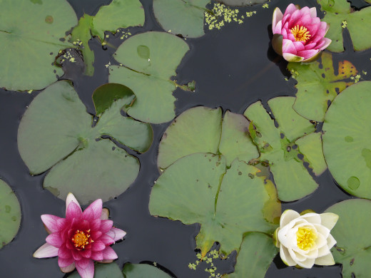 We revisited in early September 2015 and were rewarded with a show of flowers on the water lilies