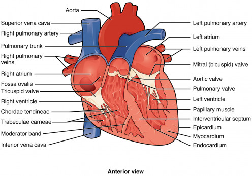 Different parts of the heart