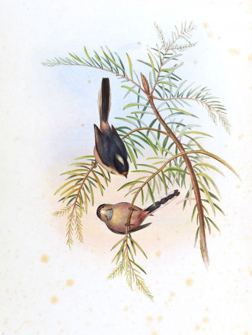 Illustration by H C Richter, from The Birds of Asia volume 2 by John Gould