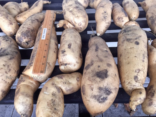 Many potatoes grew to over 2 - 3lbs. Just the one 3lb. potato will be enough for our family table at Thanksgiving dinner.