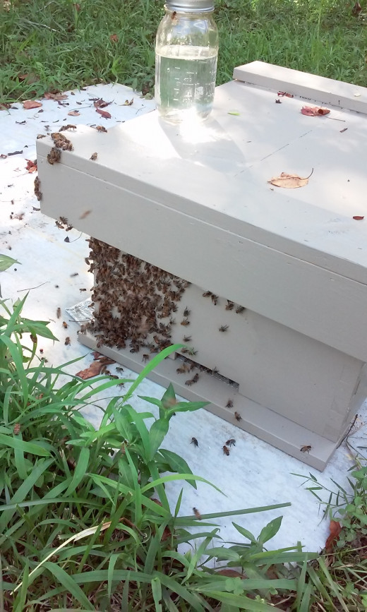 New split colony adjusting to a new hive.