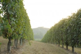 Rows & rows of fine grapes almost ready to become wine