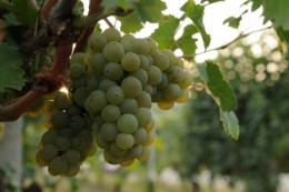 A grape of white Arneis, the most sought after wine of this area
