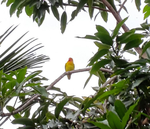 Somebody's lovebird might have run away and took some rest on mango tree.