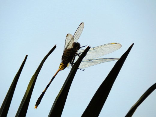 Dragonfly in silhouette perching on a red palm.