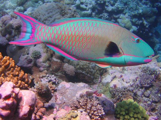 This parrotfish will change color during its lifetime, which caused the different phases to be recorded as separate species.