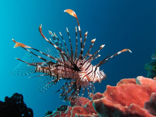 The red lionfish with all its poisonous barbs is one of the more unusual fish in the sea.