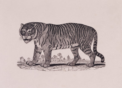 Tiger by Thomas Bewick