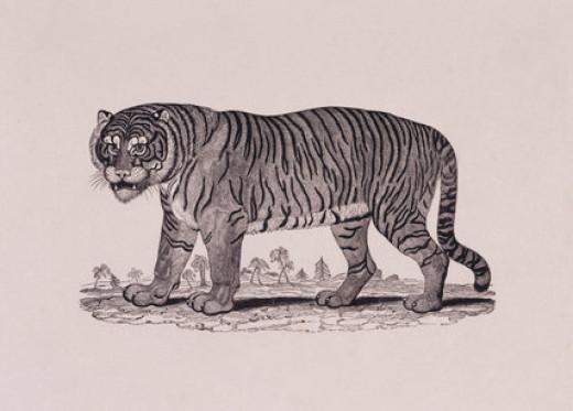 Tiger by Thomas Bewick