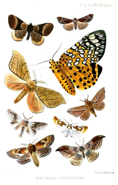 Representative Insects under Order Lepidoptera