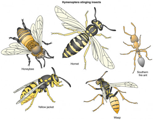 Representative Insects under Order Hymenoptera