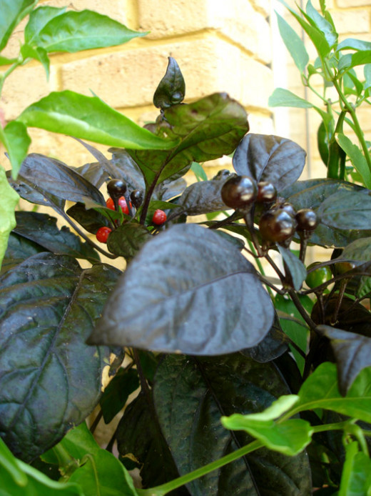 'Black Pearl cultivar of chilli pepper, often grown as an ornamental plant'