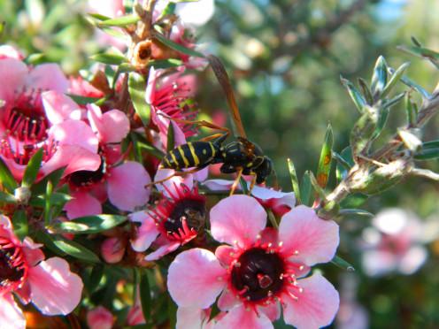 New Zealand Tea Tree - Manuka