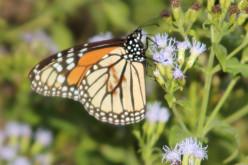 A Birder's Guide to Butterflies