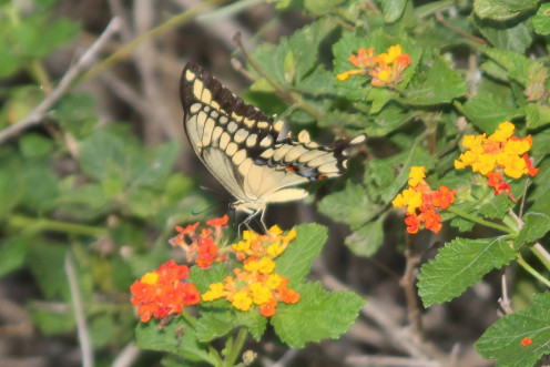Giant Swallowtail of the Swallowtail family. The largest butterflies.