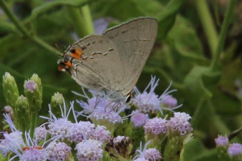 Gray Hairstreak, a Glossamer-Winged Butterfly, subfamily Lycaeninae