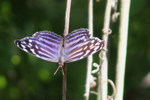 Mexican Bluewing of the Nymphalidae family