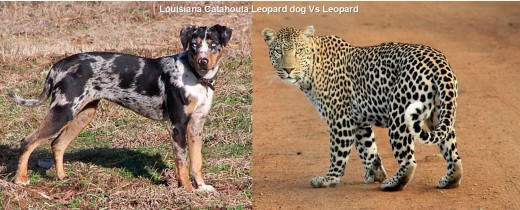 Cathahoula Leopard Vs Leopard