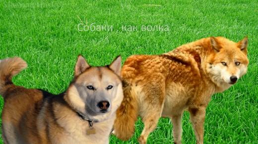 Siberian Husky vs Wolf
