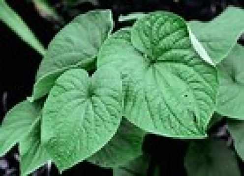Bountiful leaves though roots are source of active ingredient