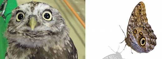 Sunda Owl and Owl Butterfly
