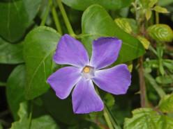 Apocynaceae (Dogbane Family) Quiz