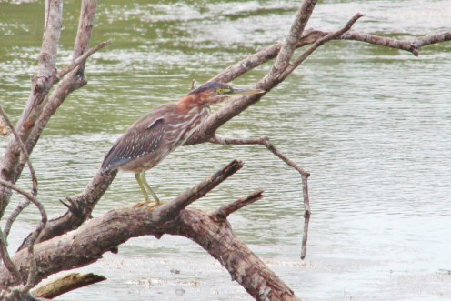 Green Heron as you normally see them.