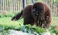 Seven Dogs That Look Like Bears