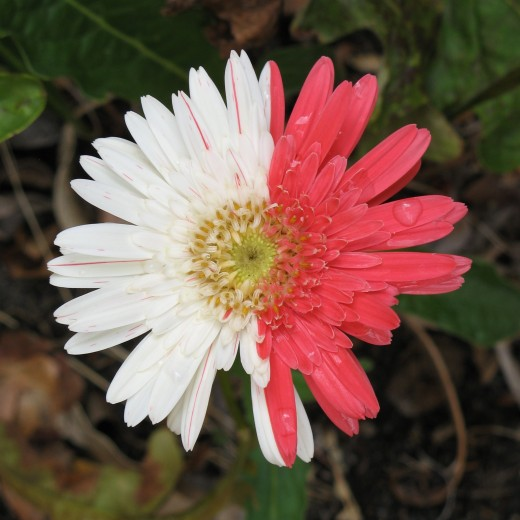 Gerbera with pink and white petals