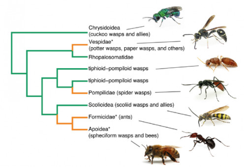 Insect  families under Order Hymenoptera
