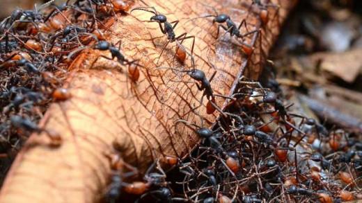 Horde of Foraging Army ants