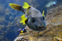 The Beginner's Guide to Keeping Freshwater Puffers