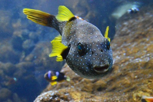 Puffers Can Make Great Aquarium Pets Freshwater