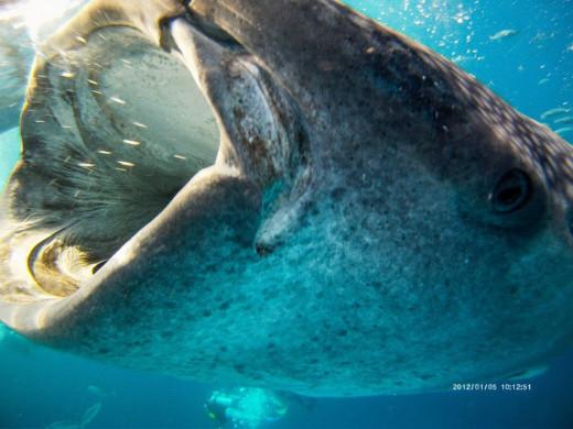 Feeding Whale sharks