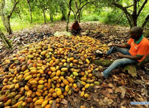 Cocoa farmers in Ivory Coast