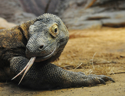 Fearsome and Terrifying forked tongue Komodo Dragon