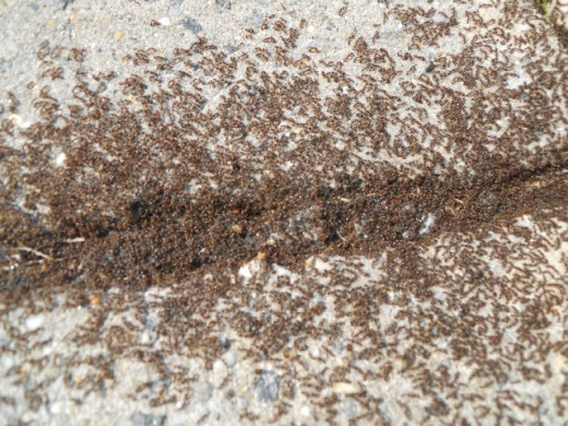 Army ants moving in Column