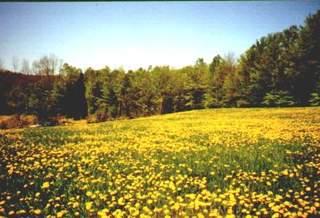 field of dandilions