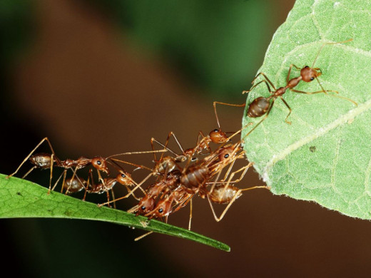 Cooperation in Eusocial Insects
