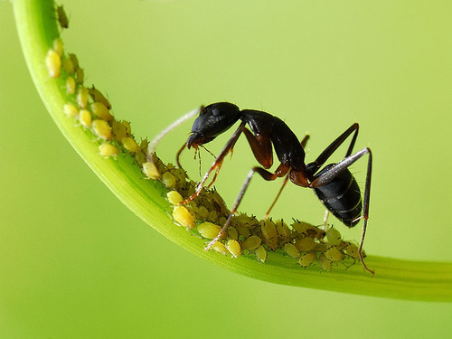 Ant collecting honey from Aphids