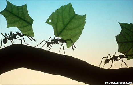 Herbivory in Ants-Leaf Cutters