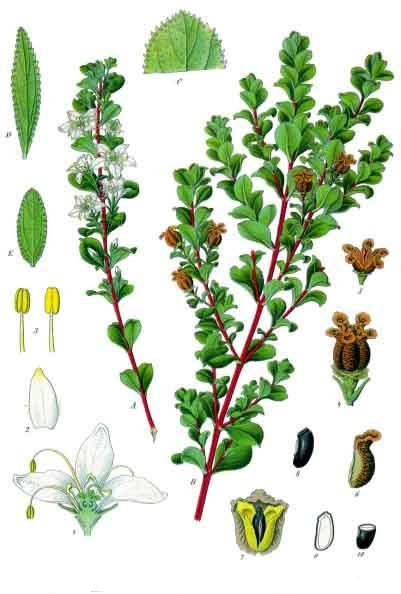 Kohler's Medizinal Pflanzen Via Wikipedia.