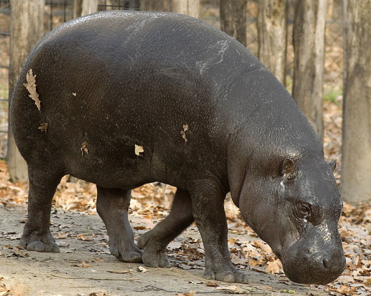 Pygmy Hippos, an endangered  Bushmeat in Liberia